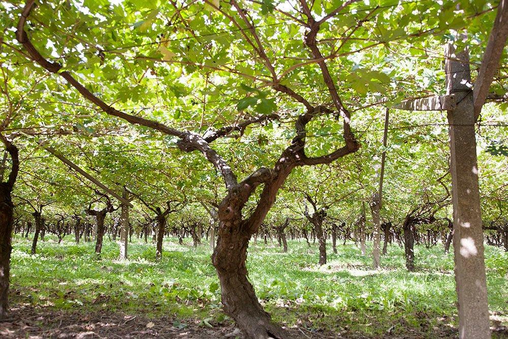albino armani uva Casetta conservtoria - Italia a tavola